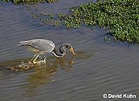 0127-08tt  Tricolored Heron Hunting for Prey Striking Water, Louisiana heron, Egretta tricolor  © David Kuhn/Dwight Kuhn Photography