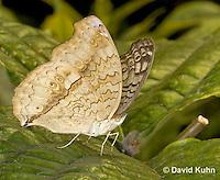 0402-08uu  Gray Pansy Butterfly, Junonia atlites, South Asia © David Kuhn/Dwight Kuhn Photography