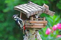 Buntspecht an der Vogelfütterung, Vogelhäuschen im Garten, Bunt-Specht, Specht, Spechte, Dendrocopos major, Picoides major, Great Spotted Woodpecker, Woodpeckers, Pic épeiche, Ganzjahresfütterung, Vögel füttern im ganzen Jahr