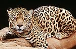 Jaguar, South America (captive)