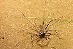 Whip Spider, Tiputini