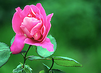 Stock image of a beautiful pink rose in garden.