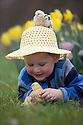 23/03/16 <br /> <br /> Wearing his seasonal Easter bonnet Nathaniel Curran (3) plays with three-day-old chicks at the Highfields Happy Hens farm. The free range hens lay more than 20,000 eggs per day at the Derbyshire farm in Etwall. <br /> <br /> All Rights Reserved: F Stop Press Ltd. +44(0)1335 418365   +44 (0)7765 242650 www.fstoppress.com