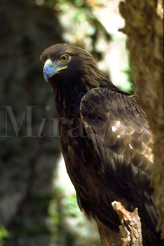 Golden Eagle, captive. Florida.
