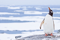 Gentoo penguins, Pygoscelis papua, Antarctica