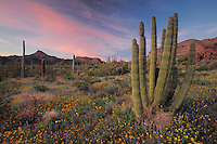 Desert in bloom at sunset with Mexican Gold Poppy and Desert Lupine and Saguaro Cactus (Carnegiea gigantea), Teddy Bear Cholla Cactus (Opuntia bigelovii), Organ Pipe Cactus (Stenocereus thurberi), Organ Pipe Cactus National Monument, Arizona, USA