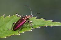 Seidiger Rohrkäfer, Rohrkäfer, Plateumaris sericea, reed beetle, reed-beetle, reed beetles
