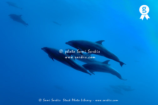 School of bottle-nosed dolphins (Tursiops truncatus), underwater view (Licence this image exclusively with Getty: http://www.gettyimages.com/detail/200476772-001 )