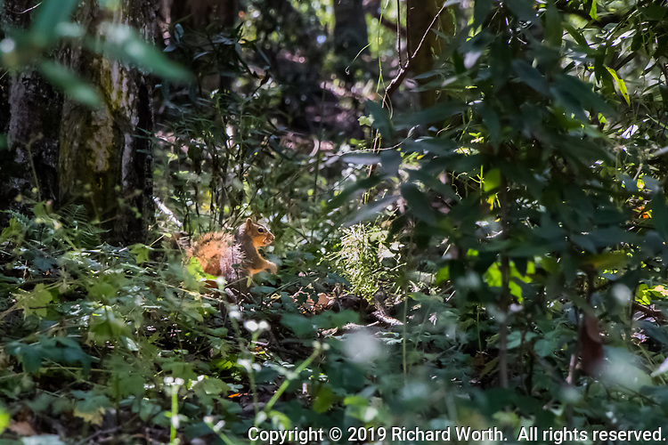 A squirrel pauses in a patch of sunilight, filtered through the tall redwoods at Lake Chabot Regional Park.