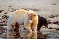 spirit bear, kermode, black bear, Ursus americanus, mother with cub feeding on salmon, central British Columbia coast, Canada