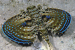Flying gurnard full span open, Dactylopterus volitans, Blue Heron Bridge, BHB Companion