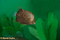 0116-0906  Argus Fish (Spotted Scat), Scatophagus argus  © David Kuhn/Dwight Kuhn Photography.