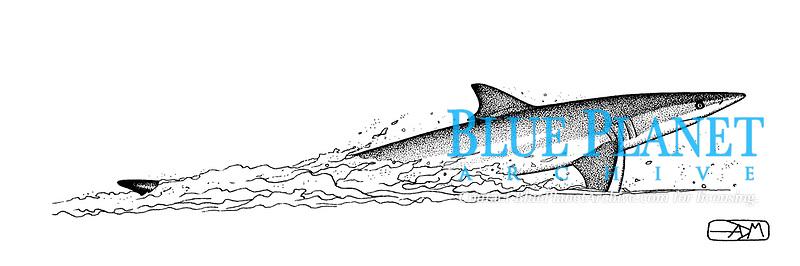 Spinner shark, Carcharhinus brevipinna, leaping, pen and ink illustration.