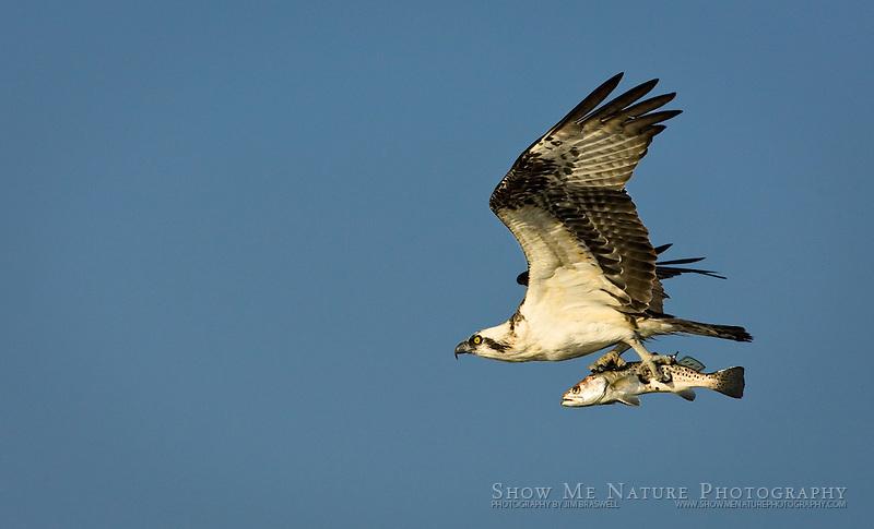 """Osprey with Fish-2"", Florida"