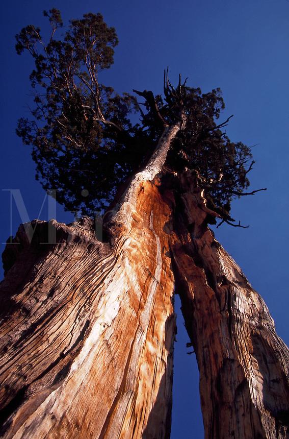 Ancient Sierra Juniper (Juniperus occidentalis) with split trunk, old weathered wood, Yosemite National Park, California