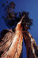 Ancient Sierra Juniper (Juniperus occidentalis) with split trunk, old weathered wood, Yosemite National Park, California