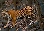 Female Bengal tiger (Panthera tigris tigris) walking through dry forest. Ranthambhore National Park, Rajasthan, India.