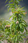 Italy, Liguria, Riviera Ligure di Levante: peach tree (Prunus persica) with unripe fruit | Italien, Ligurien, Riviera Ligure di Levante: Pfirsichbaum (Prunus persica) mit noch unreifen Fruechten