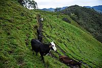 ARMENIA - COLOMBIA, 29-05-2021: En la finca La Laguna, las vacas se ordeñan dos veces al día, en la mañana a las 6:00 am y en la tarde 4:00 pm. A más de un mes del inicio del Paro Nacional, los campesinos han tenido que reinventar la forma para mantener sus cultivos y criaderos activos para minimizar las pérdidas por los bloqueos que aún se mantienen en las vías. Según cifras del Ministerio de Hacienda, las pérdidas diarias están en un monto de $480.000 millones de pesos colombianos, lo cual sumando la totalidad de los días del Paro Nacional, suman un total de $10,8 billones de pesos colombianos. / At the La Laguna farm, the cows are milked twice a day, in the morning at 6:00 am and in the afternoon at 4:00 pm. More than a month after the beginning of the National Strike, farmers have had to reinvent the way to keep their crops and farms active in order to minimize losses due to the road blockades that are still in place. According to figures from the Ministry of Finance, daily losses are in the amount of $480,000 million Colombian pesos, which adding the total number of days of the National Strike, add up to a total of $10.8 billion Colombian pesos. Photo: VizzorImage / Santiago Castro / Cont