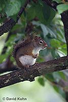 0705-1003  Red Squirrel, Tamiasciurus hudsonicus  © David Kuhn/Dwight Kuhn Photography