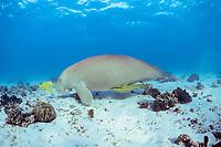 dugong or sea cow, Dugong dugon, accompanied by sharksuckers (remoras), Echeneis naucrates, & golden pilot jacks, Gnathanodon speciosus, Australia