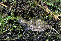 1R05-040z  Snapping Turtle - two year old swimming in pond - Chelydra serpentina