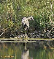 0818-06yy  Great Blue Heron - Ardea herodias © David Kuhn/Dwight Kuhn Photography