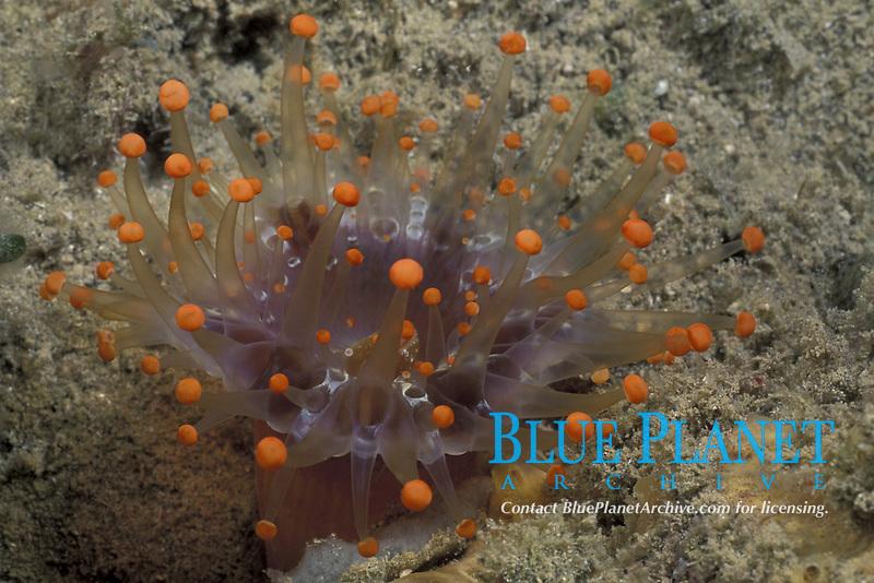 orange ball corallimorph, Pseudocorynactis caribbeorum, St. Lucia