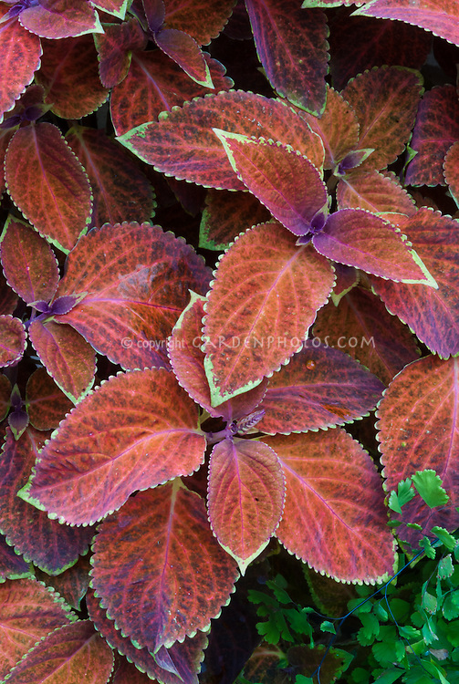 Solenostemon (Coleus) 'Wisley Promise' annual foliage plant in rusty red , green and purple leaf colors, picotee edge