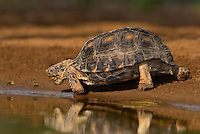 481150048 a wild texas tortoise gopherus berlandieri near a small pond in the rio grande valley of south texas