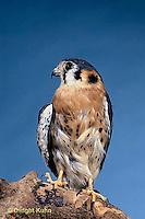 HK01-016z  Sparrow Hawk - Young with shrew prey - Falco sparverius