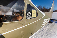 A dropped dog waits, in O.E. Robbins plane at the Ruby Checkpoint, for a ride out on Saturday March 12th during the 2016 Iditarod.  Alaska    <br /> <br /> Photo by Jeff Schultz (C) 2016  ALL RIGHTS RESERVED