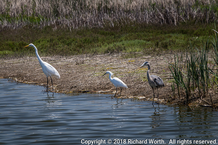 A Great egret, a Snowy egret and a Great Blue heron prowl the shoreline searching for food - wading then capturing fish with a deadly jab of its bill.