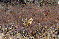 White-tailed Deer buck (Odocoileus virginianus) escaping into heavier cover, Western U.S., Late Fall.
