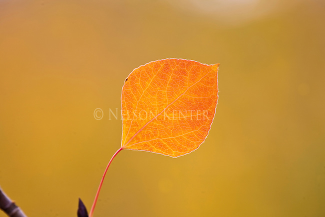 Aspen leaf in autumn in the Sapphire Mountains in Montana