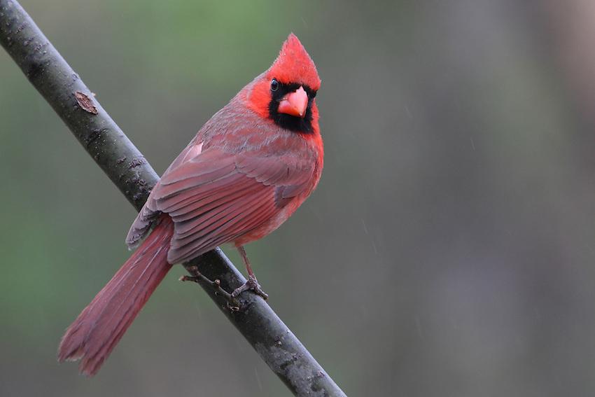Cardinal and a light Spring rain on a Tuesday morning..