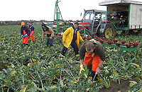 Picking broccoli, South West Lancashire.