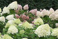 Hydrangea paniculata 'Little Lime'' in front of taller hydrangea paniculata