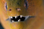 Extreme close up portrait focusing on the teeth of a Giant Moray, Gymnothorax javanicus, Yap, Micronesia, Pacific Ocean