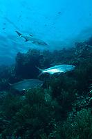 Tarpons over a reef in Bonaire. Tarpon, Megalops atlanticus, Dutch, Bonaire, Netherland Antilles, Caribbean Sea
