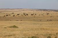 Tanzania.  Wildebeest on a Northern Serengeti Plain, Late Afternoon.