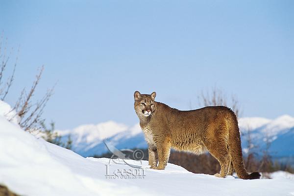 Mountain Lion or cougar (Puma concolor).  Western U.S., winter.