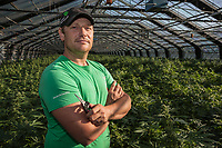 Switzerland. Canton Ticino. Sementina. Ivan Martinelli is the owner and the boss of Fioricultura Martinelli Sagl. New plants of cannabis CBD are grown in glass greenhouses. The business of growing cannabis CBD is registered with the Swiss Federal Health Office. Several Swiss companies cultivate CBD plants in greenhouses as a tobacco substitute or according to medical standards in order to produce blossoms, concentrates, and other CBD products (oils, extracts and tinctures). The Swiss legal requirements have a 1 percent THC limit compare to the European Union (EU) where the THC limit is limited to 0.3 percent. Cannabidiol (CBD) is a phytocannabinoid discovered in 1940. It is one of some 113 identified cannabinoids in cannabis plants and accounts for up to 40% of the plant's extract. Cannabidiol can be taken into the body in multiple ways, including by inhalation of cannabis smoke or vapor, as an aerosol spray into the cheek, and by mouth. It may be supplied as CBD oil containing only CBD as the active ingredient (no included tetrahydrocannabinol [THC] or terpenes), a full-plant CBD-dominant hemp extract oil, capsules, dried cannabis, or as a prescription liquid solution. 17.09.2019 © 2019 Didier Ruef