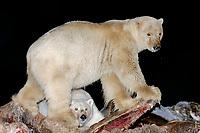 polar bear, Ursus maritimus, mother with cub scavenging a bowhead whale, Balaena mysticetus, carcass at night, 1002 coastal plain of the Arctic National Wildlife Refuge, Alaska, polar bear, Ursus maritimus
