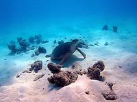 Green Sea Turtle, Cocos Keeling Islands, Indian Ocean