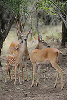 White-tailed Deer (Odocoileus virginianus), group, New Braunfels, San Antonio, Hill Country, Central Texas, USA