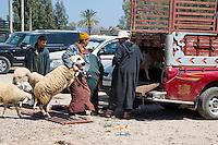 Morocco.  Loading Sheep to Take to the farm.  Had Draa Market, Essaouira Province.