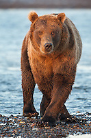 A photo of a Coastal brown bear standing cross legged on the beach. Grizzly Bear or brown bear alaska Alaska Brown bears also known as Costal Grizzlies or grizzly bears Grizzly Bear Photos, Alaska Brown Bear with cubs. Purchase grizzly bear fine art limited edition prints here Grizzly Bear Photo Bear Photos,
