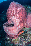 Pink Barrel sponge, Tubbataha