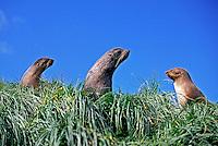 Animais. mamiferos. Focas peleteiras (Arctocephalus gazella). Ilha da Geórgia do Sul.  Foto de Maristela Colucci.